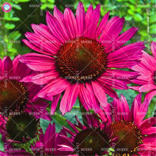 50pcs purple echinacea purpurea seeds Mixed color flower seeds Perennial plants bonsai for home garden decoration Best packaging