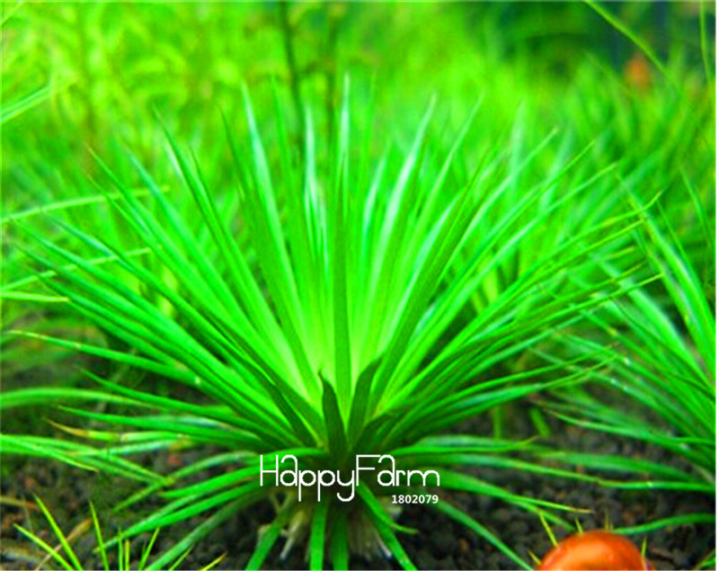 New Arrival!Garden Plant 10pcs a bag Limnophila sessiliflora moss aquatic plant seeds, aquarium grass seeds Bonsai,#TU4PEL