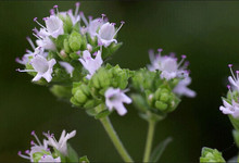 New Home Garden Plant 100 Seeds SWEET MARJORAM Origanum Majorana Herb Flower Seeds Free Shipping