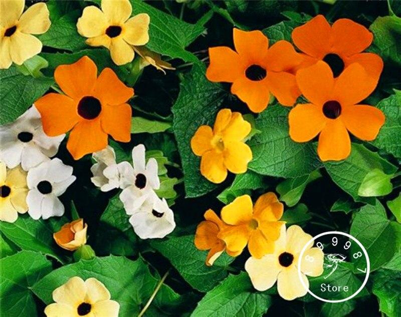 Best-Selling! 100 Pcs/Lot Black-eyed Susan Vine Mix (Thunbergia alata) Organic Climbing Flowers Seeds