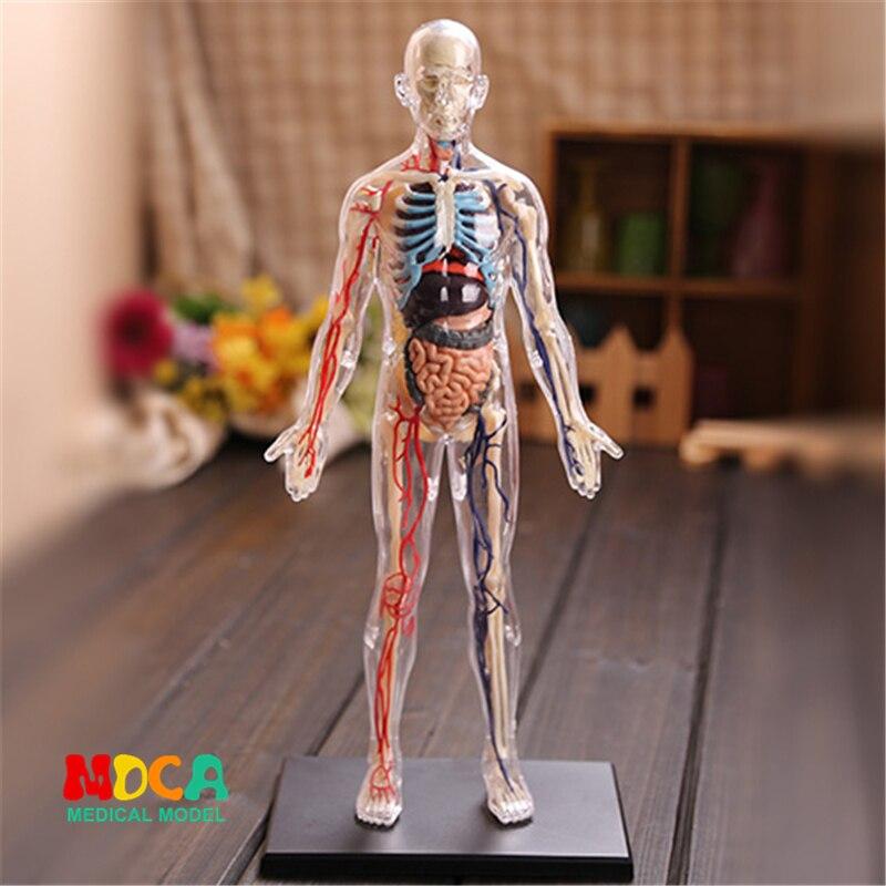 1:6 полупрозрачные человек 4d master головоломка Сборка игрушки человеческого тела орган анатомическая модель медицинская модель обучения