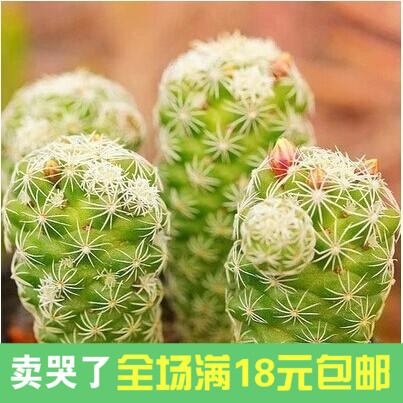 Shiratori Fleshy Succulents Landscape Potted Flowers Small Cactus Plants Radiation Protection Office