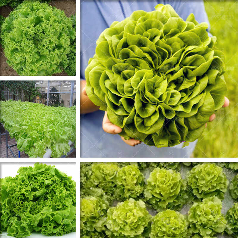 500 Pcs Italian Lettuce bonsai good taste,Outdoor bonsai plants,easy to grow,great salad choice,DIY Home garden plant vegetables