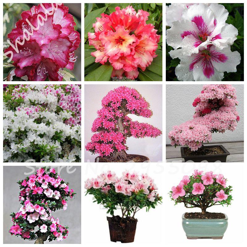 3.28 Promoção! Sementes de Bonsai Azaléia, rododendros Variedade de Cores, Flores Em Vasos de Plantas DIY Casa Jardim Do Miúdo do Presente do Amor 20 Pcs(China (Mainland))