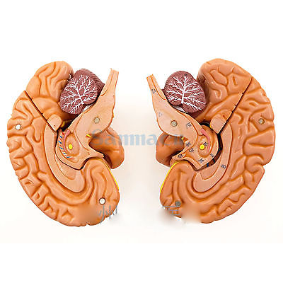 Human Brain With Artery 8 Part Fully Dissected Model for Medical Study Softness 1:1 Natural Brain 3 1 human anatomical kidney structure dissection organ medical teach model school hospital hi q