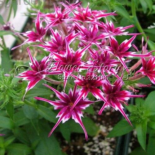 home garden plant 100 seeds phlox twinkle star phlox drummondii cuspidata flower seeds in. Black Bedroom Furniture Sets. Home Design Ideas