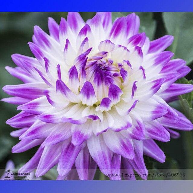aliexpress: acheter heirloom rare différents types de dahlia