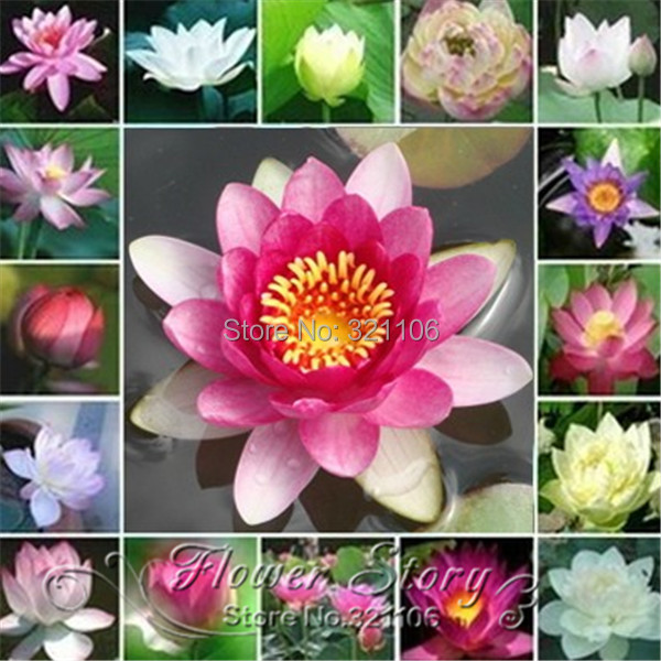 Free shipping 5 bonsai nelumbo nucifera mini mixed color lotus seeds free shipping 5 bonsai nelumbo nucifera mini mixed color lotus seeds small water lily seeds hydroponic bonsai bowl lotus seed in bonsai from home garden mightylinksfo