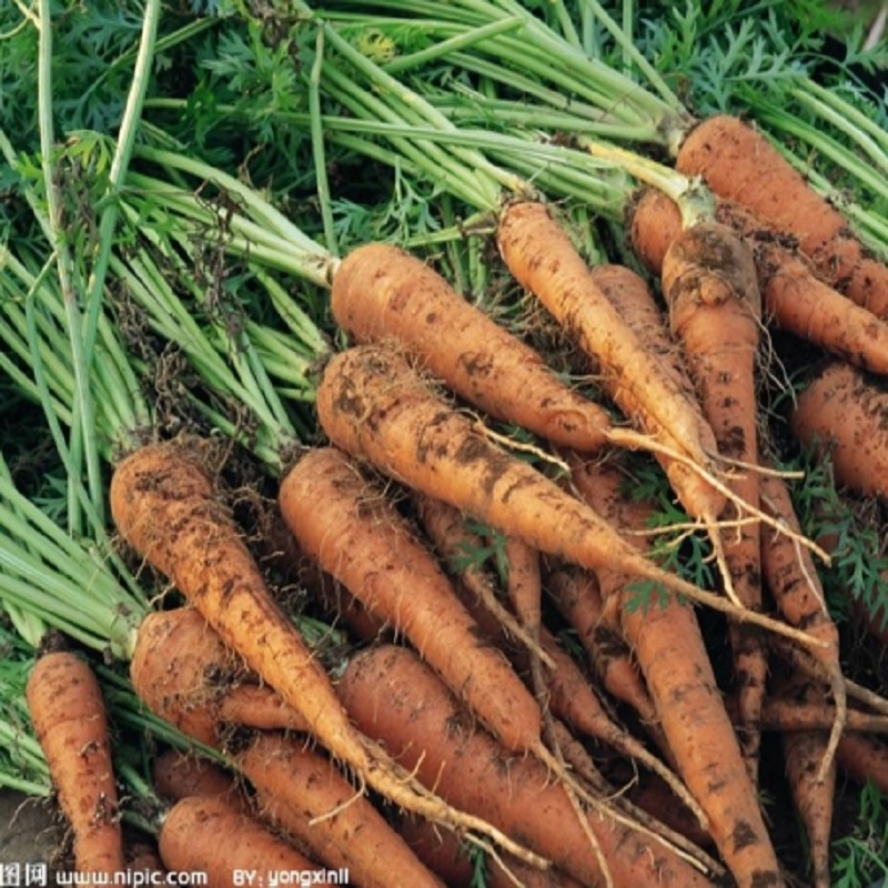 Carrot Seed handsome red organic vegetable seeds 100 seeds