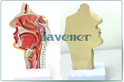 New1:1 Human Anatomical Nasal Cavity Throat Anatomy Medical Pathology Model medical anatomical torso anatomical model structure human organ system internal organs large throat gasen rzjp075