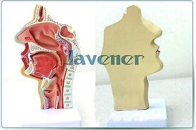 New1:1 Human Anatomical Nasal Cavity Throat Anatomy Medical Pathology Model