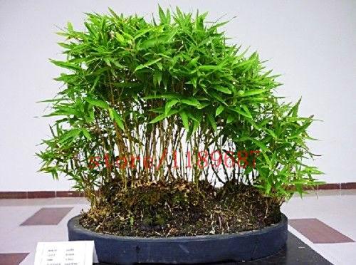 50 Pcs Sac Mini Moso Bambou Bonsai Jardin En Pot Balcon Taux En