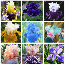 100 pcs / bag Iris Flower, Bonsai Flower Seeds, Rare Flower Seeds bearded iris seeds, Nature plants Orchid flower DIY for Garden
