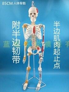 Image 5 - 85 سنتيمتر قالب هيكل عظمي نموذج الإنسان مع العضلات العمود الفقري نظام العصب التدريس الطبي معدات تعليمية هيكل عظمي نموذج تشريح
