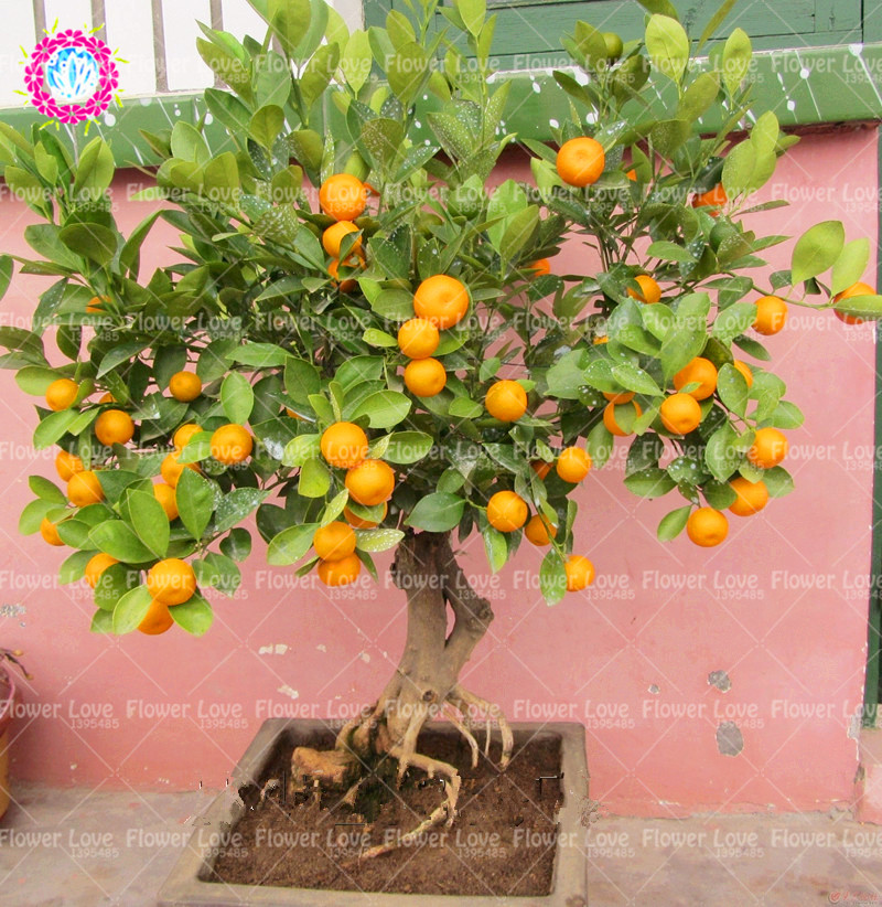 40PCS Mini Orange Tree Seeds Potted Organic Edible Fruit Seeds Bonsai Top Quality Orange Tree Seeds Perennial Garden Plants