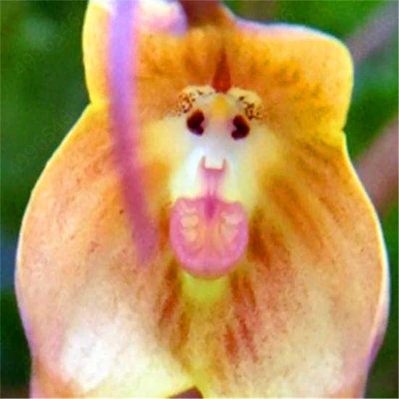 100 Pcs 10 kinds Cute Monkey Face Orchid Bonsai Monkey Orchid Bonsai Plants Flowers Bonsai For Home Garden