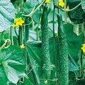 Голландский Огурец Горячий продавать 50 шт. семена плодов огурца, Огурчик Семена, зеленые Семена овощных Культур