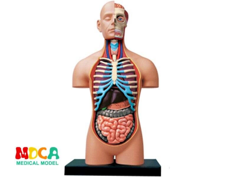 1:2. 5 полуоткрытый человеческого тела 4d master головоломка Сборка игрушки человеческого тела орган анатомическая модель медицинская модель об