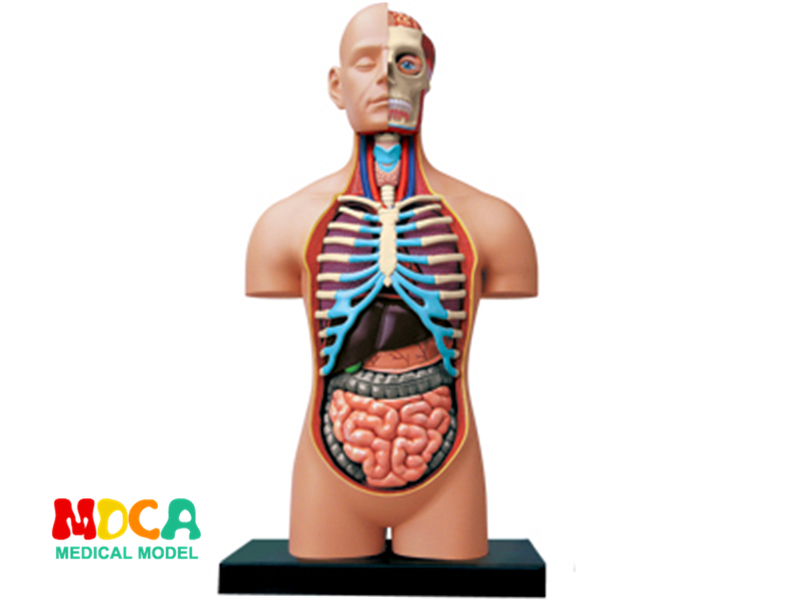 1:2.5 Half open human body 4d master puzzle Assembling toy human body organ anatomical model medical teaching model incredible human body