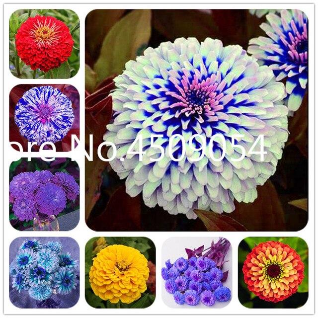 Superiore Zinnia bonsai di Vendita Calda! 100 pz/pacco Rare Fower plantas per il Giardino di Casa e Giardino Flores coperta piante da fiore