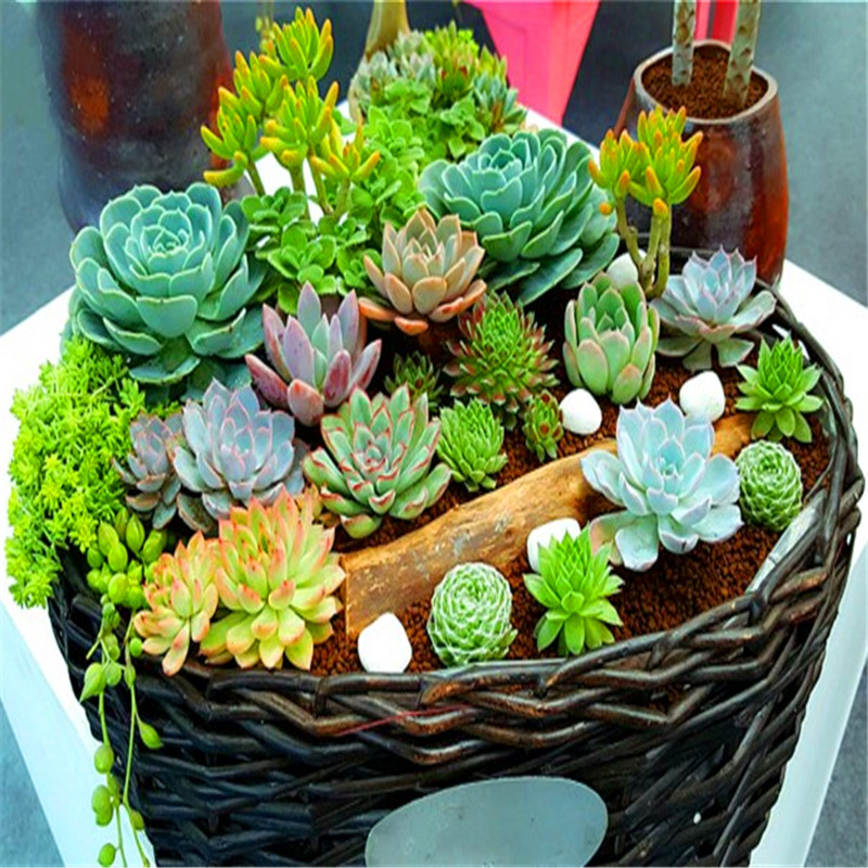 100pcs Mini Cactus plant Mixed Succulent Flower bonsais of garden flowers Rare Sempervivum(China)