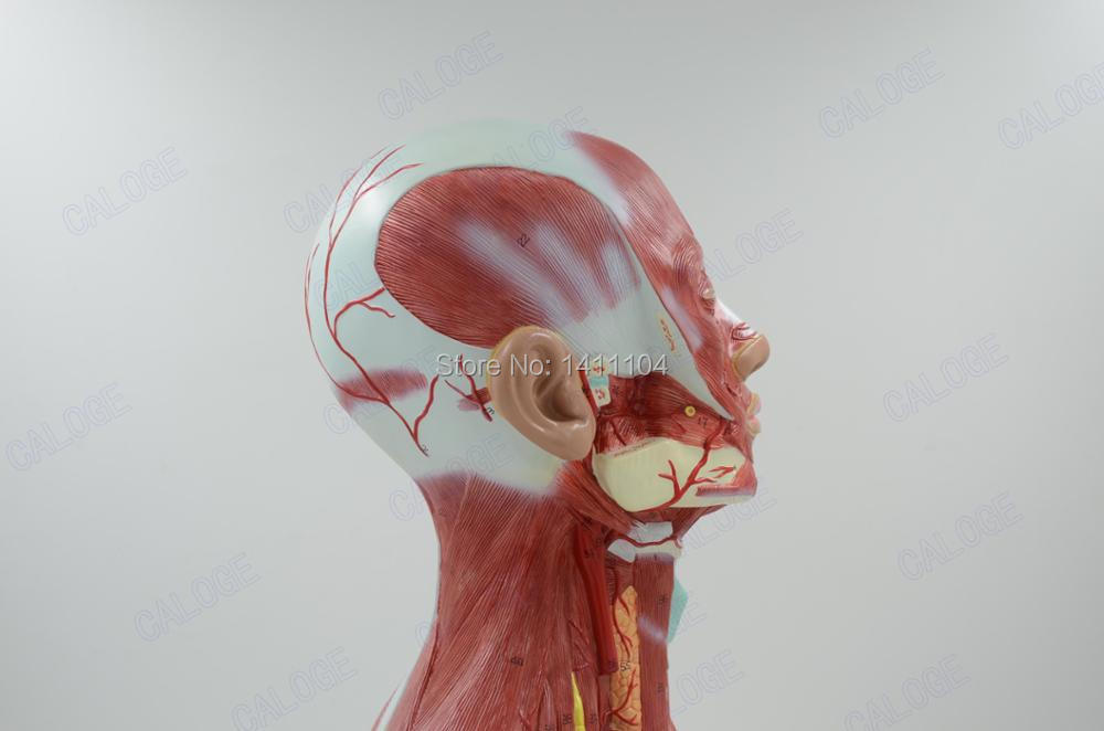 Colorful Human Head Muscle Anatomy Crest - Anatomy And Physiology ...