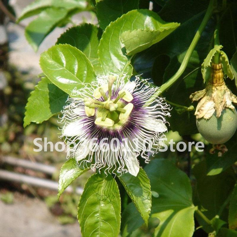 fruit Plantas passion Bonsai fruit Rare flower plant Passiflora fruit Passion flower for Home Garden plant in Bonsai from Home Garden