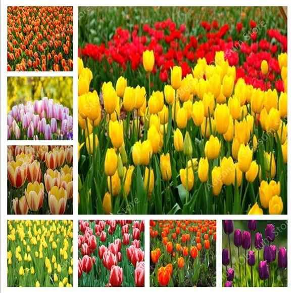 Caldo! 500 pcs Tulipano Bonsai varietà arcobaleno Tulipano di Fiore di Alta Qualità decorazione di cerimonia nuziale Per Il Fiore Piante Da Giardino Simboleggia l'amore