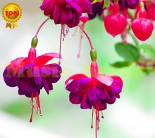 200pcs Hot Sale fuchsia seeds Japanese lily bulb flower seeds Lilac Bonsai cherry Tomato for Home & Garden free shipping