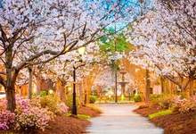 Laeacco Spring Park Cherry Blossoms Scenic Photography Backgrounds Customized Photographic Backdrops For Photo Studio laeacco mountains snow spring cherry blossoms scenic photography backgrounds customized photographic backdrops for photo studio