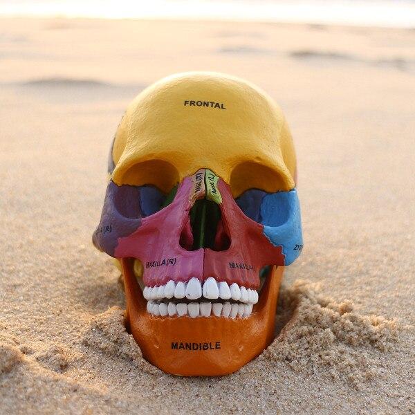 Farbige menschliches skelett anatomisches modell, montiert skeleton ...