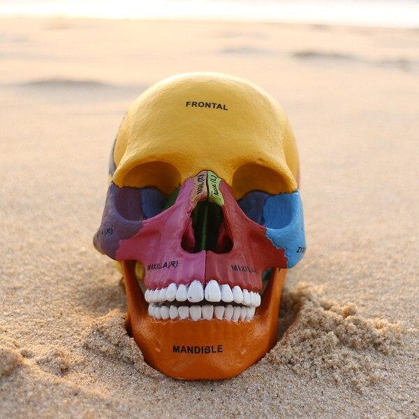 Colored Human Skeleton Anatomical Model Assembled Skeleton Model Of