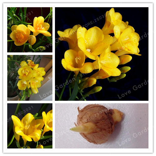 Freesia Flower Yellow White Color Indoor Potted Flowers Orchids Freesia Bulbs