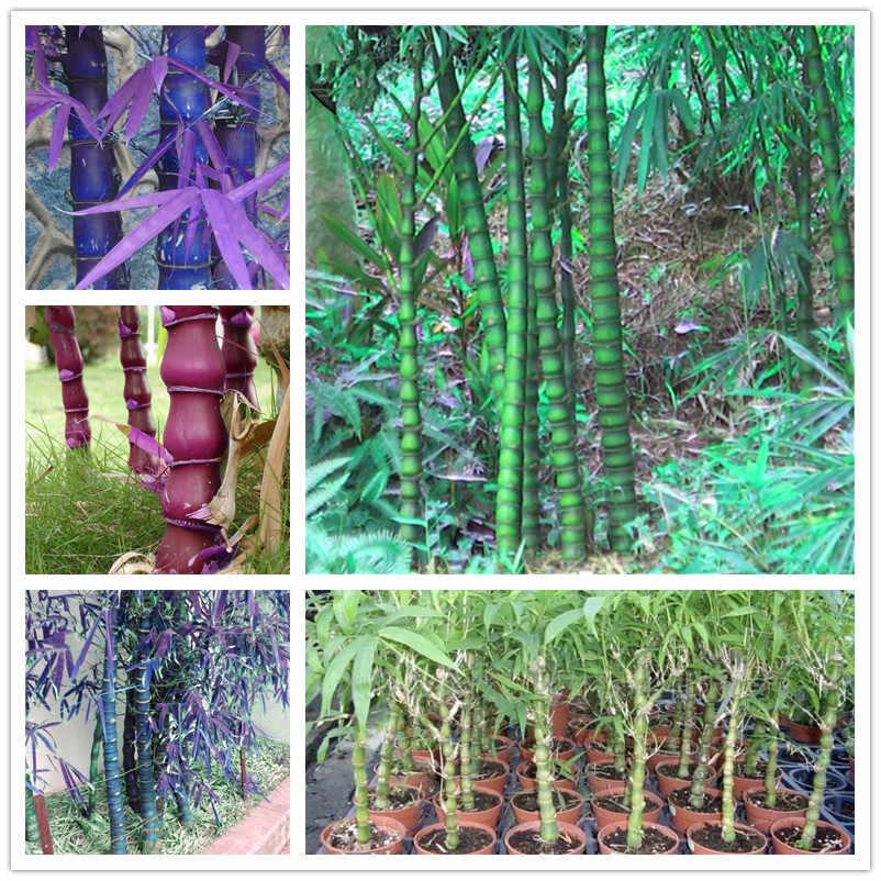 تعزيز كبير! الصينية الطازجة نادر الأزرق الخيزران بونساي ، الكمال الزينة DIY المنزل حديقة النبات ، الصالحة للأكل براعم الخيزران-50 قطعة
