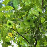 Wholesale authentic willow tree plant money plant money tree money tree plant paliurus real shot 200g / Pack