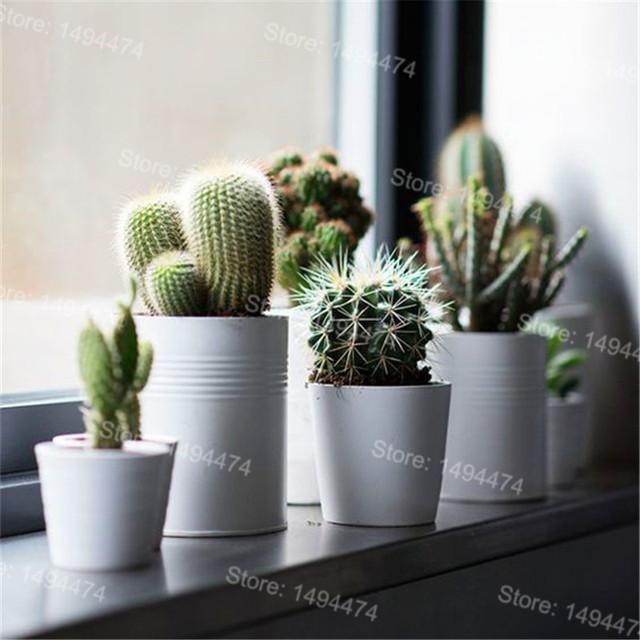 Flores Cactus Flower Seeds (1000 Pieces)