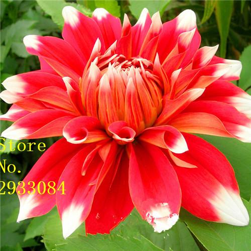 bleu dahlia fleurs-achetez des lots à petit prix bleu dahlia