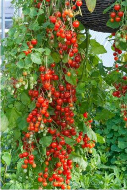 100 pièces escalade tomate comestible tomate bonsaï plantes végétales nourriture bonsaï pot maison jardin plantation 3
