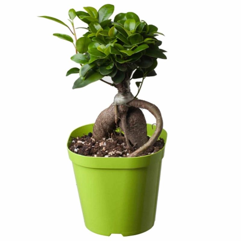 ficus ginseng plante promotion achetez des ficus ginseng plante promotionnels sur. Black Bedroom Furniture Sets. Home Design Ideas