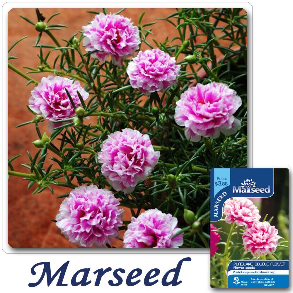 Big Promotion 200 Purslane Double Flower Seeds Heat Tolerant Easy