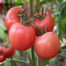 100 Seeds / Bag Large Bright Red Fruit Tomato F1 Hybrid Seeds Crisp Sweet Big Flower Tomato Seeds