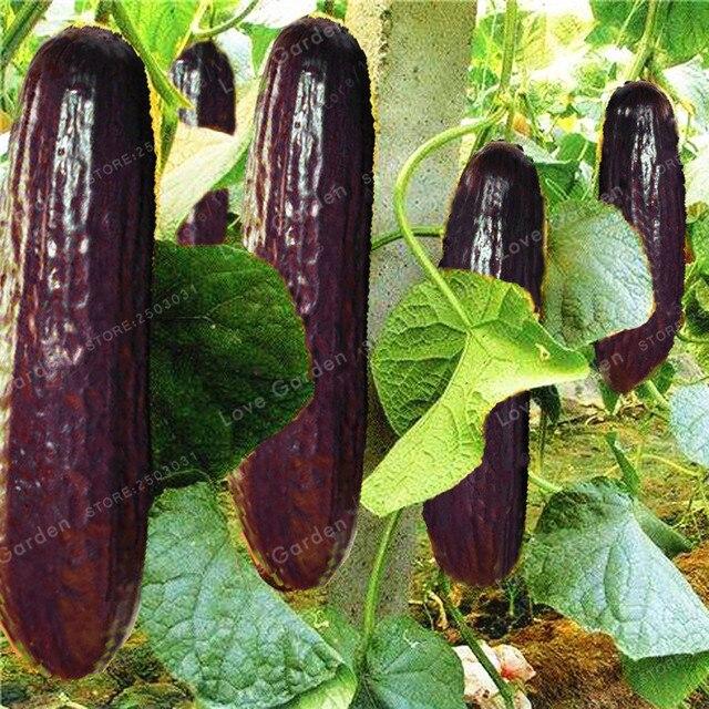 Raro pepino negro púrpura japonés planta de pepino largo para el hogar planta de jardín verduras saludable no GMO Bonsai 20 piezas