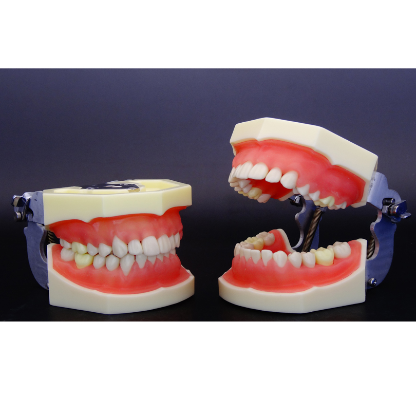 Teeth Model Dental Periodontal Disease Practice Dental Model for Oral Health And Hygiene Education Practice
