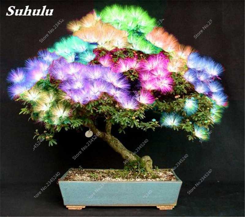 50 قطع الساحرة بونساي دقن السنط الزهور دقن Julibrissin المنزل حديقة الزينة مصنع المعمرة شجرة تنقية الهواء