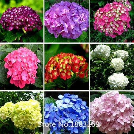 2016 100 bleu hortensia graines de fleurs belle couleur - Terre pour hortensia bleu ...