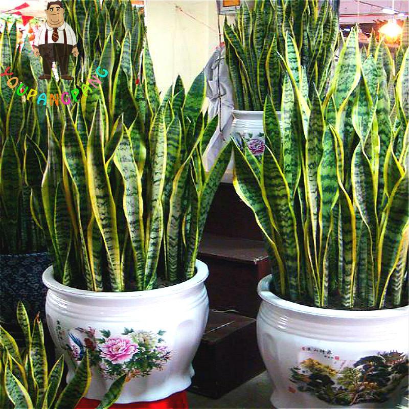 unidsbolsa sansevieria plantas flores de interior semillas de cactus semillas maceta plantacin balcn