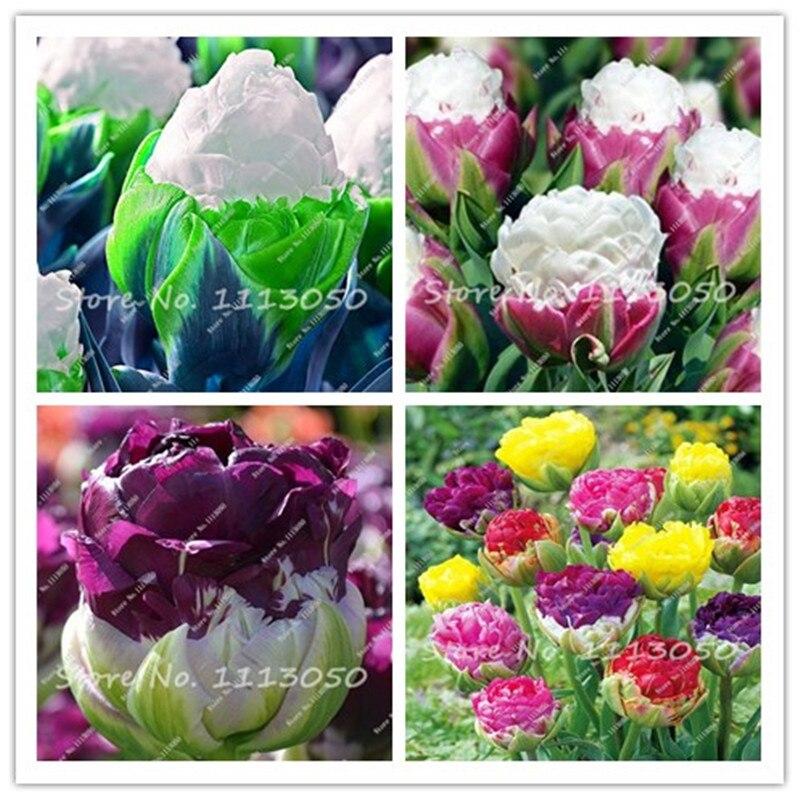 30 PCS Tulipa Sementes, Aroma Plantas Tulipa, Rare Ice Cream, Plantadores de Vaso de Flores, DIY para Casa e Jardim, Bonsai Plantas para Decoração