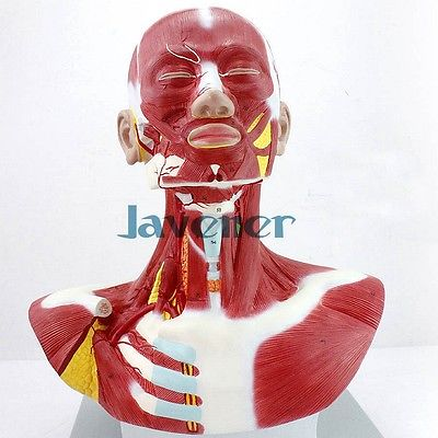 Human Anatomica Muscles Of Head And Neck Anatomy Medical Model Facial Plastic cmam nasal01 section anatomy human nasal cavity model in 3 parts medical science educational teaching anatomical models
