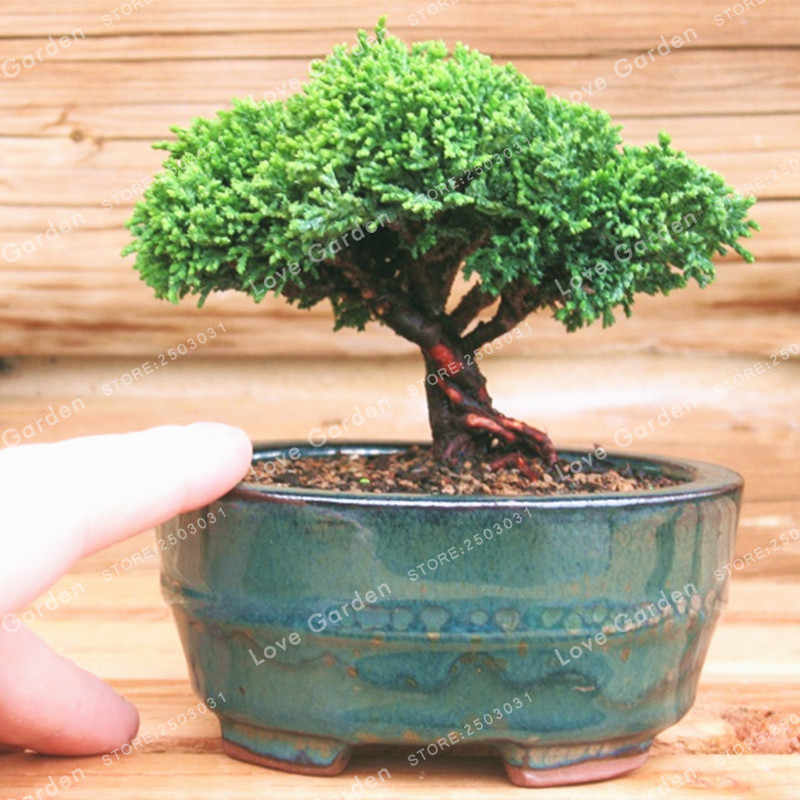 50 Pcs Jepang Mini Hitam Pine Bonsai Hias Bonsai Pinus Thunbergii Evergreen Bonsai Taman Rumah Pot Tanaman