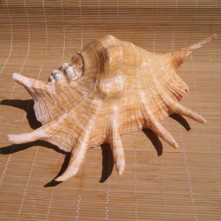 Coquillages artisanat naturel grande araignée conchas coquillage style méditerranéen décoration de mariage aquarium aménagement paysager décoration